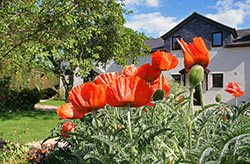 poppies at these vacation lodgings in north wales